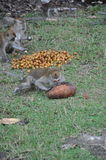 Scimmie che lo mangiano alimento Immagini Stock Libere da Diritti