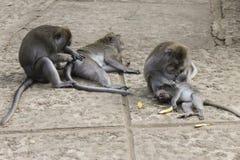 Scimmie che si governano Fotografie Stock