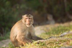Scimmie che si siedono sul pavimento, scimmie in Tailandia Fotografie Stock