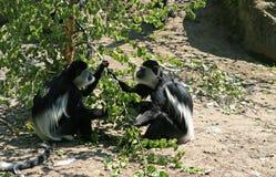Scimmie, chiamate guereza del Colobus immagine stock