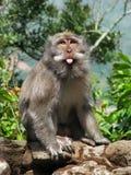 Scimmie del Bali: macaque divertente con la sua linguetta fuori fotografia stock libera da diritti