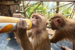 Scimmie del bambino Fotografia Stock