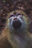 Scimmie del giardino zoologico Immagine Stock