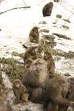 Scimmie dell'Asia Immagini Stock Libere da Diritti