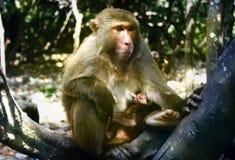 Scimmie dell'isola Fotografie Stock Libere da Diritti