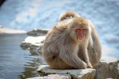 Scimmie della neve Immagine Stock