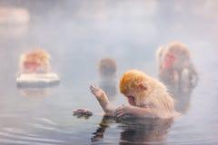 Scimmie della neve Fotografia Stock