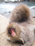 Scimmie della neve Fotografia Stock Libera da Diritti