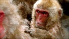 Scimmie della neve del bambino Fotografia Stock Libera da Diritti