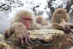 Scimmie della neve in sorgente calda Immagini Stock