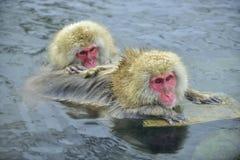 Scimmie della neve in sorgente di acqua calda naturale Procedura di pulizia Fotografia Stock Libera da Diritti