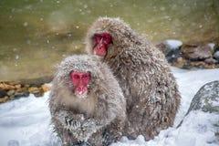 Scimmie della neve sulla riva del fiume Immagine Stock Libera da Diritti