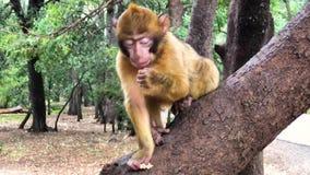 Scimmie di Barbary selvagge della scimmia nella foresta vicino a Azrou, atlante medio, Marocco di CEDRE stock footage