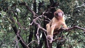 Scimmie di Barbary selvagge della scimmia nella foresta vicino a Azrou, atlante medio, Marocco di CEDRE archivi video