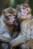 Scimmie di Barbery, familiarità Fotografie Stock Libere da Diritti