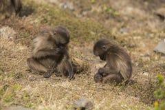 Scimmie di Gelada Immagini Stock