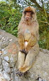 Scimmie di Gibilterra Immagine Stock Libera da Diritti
