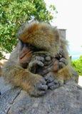 Scimmie di Gibilterra Immagine Stock