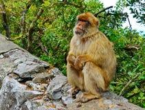 Scimmie di Gibilterra Fotografia Stock Libera da Diritti