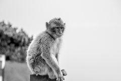 Scimmie di Gibilterra della scimmia Fotografia Stock Libera da Diritti