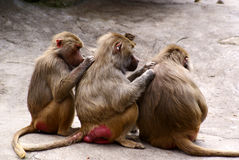 Scimmie di Lousing Fotografie Stock