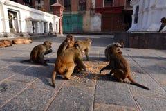Scimmie di macaco che mangiano cereale Fotografie Stock Libere da Diritti