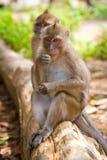 Scimmie di Macaque sulla filiale Fotografia Stock