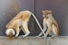 Scimmie di Patas Immagini Stock Libere da Diritti