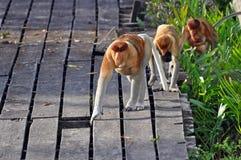 Scimmie di Proboscis Immagini Stock