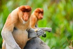 Scimmie di Proboscis Fotografia Stock Libera da Diritti