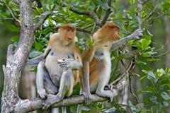 Scimmie di Proboscis Fotografie Stock