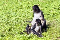 Scimmie di ragno Fotografia Stock