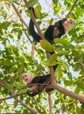 Scimmie di ragno Fotografie Stock