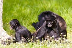 Scimmie di ragno Fotografia Stock Libera da Diritti