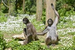 Scimmie di ragno variegate su erba Fotografie Stock Libere da Diritti