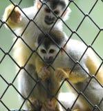 Scimmie di scoiattolo, riserva della fauna selvatica, Costa Rica Fotografia Stock