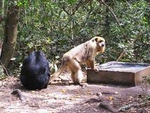Scimmie di svarione a Monkeyland sull'itinerario del giardino, Sudafrica fotografia stock