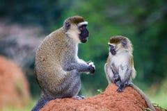 Scimmie di Vervet Fotografia Stock