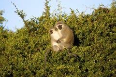Scimmie di Vervet Fotografia Stock Libera da Diritti
