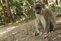 Scimmie di Vervet verdi in Bigilo Forest Park, Gambia Fotografia Stock Libera da Diritti