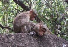Scimmie divertenti con amore sulla roccia Fotografia Stock
