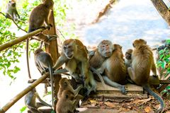 scimmie e giovani adulti sulla traccia in Thayland, Krabi Immagine Stock