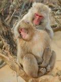 Scimmie giapponesi Immagini Stock