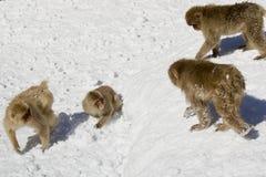 Scimmie giapponesi della neve Immagini Stock