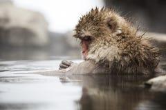 Scimmie giapponesi della neve Fotografie Stock Libere da Diritti