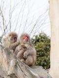 Scimmie giapponesi divertenti della famiglia Fotografie Stock