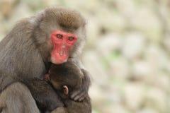 Scimmie giapponesi selvagge che si abbracciano a Beppu, Oita Fotografia Stock Libera da Diritti