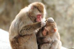 scimmie giapponesi selvagge governare a Beppu, Oita Fotografia Stock Libera da Diritti