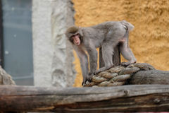 Scimmie giapponesi in una gabbia Fotografia Stock Libera da Diritti