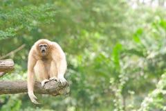 Scimmie, gibbons. Immagini Stock